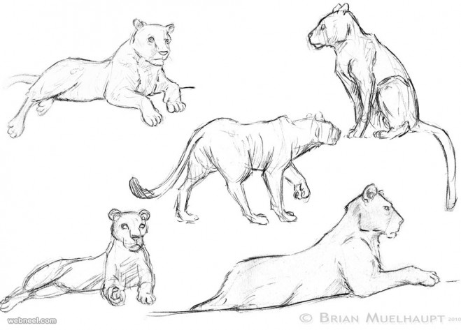 How to draw animals lion joe