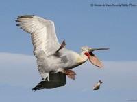 11-catch-comedy-wildlife-photography-by-nicolas-de-vaulx