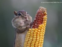 13-hungry-squirrel-comedy-wildlife-photography-by-barb-darpino