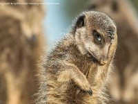17-sneak-a-glance-comedy-wildlife-photography-by-brigitta-moser