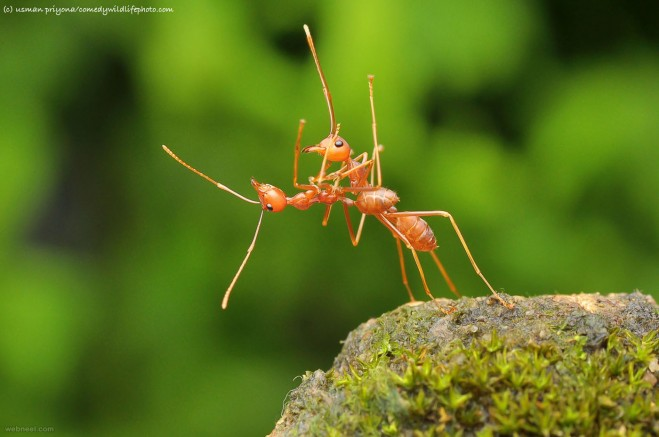 ant suicide comedy wildlife photography by usman priyona