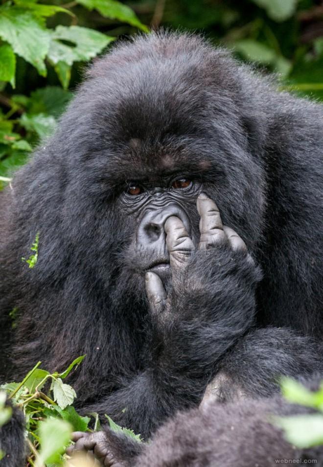 gorilla comedy wildlife photography
