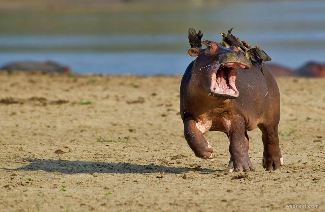 hippo comedy wildlife photography by marc mol