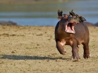 6-hippo-comedy-wildlife-photography-by-marc-mol