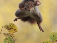 9-flying-squirrel-comedy-wildlife-photography-by-julian-rad