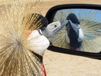 15-crowned-crane-funny-photograph