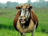 20-funny-photograph-cow
