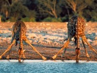 africa giraffee wildlife