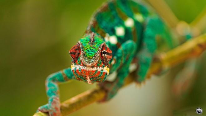 chameleon macro photography