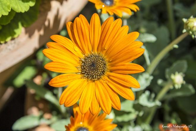 Kamal flower