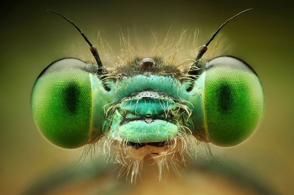 insect eyes macro photography