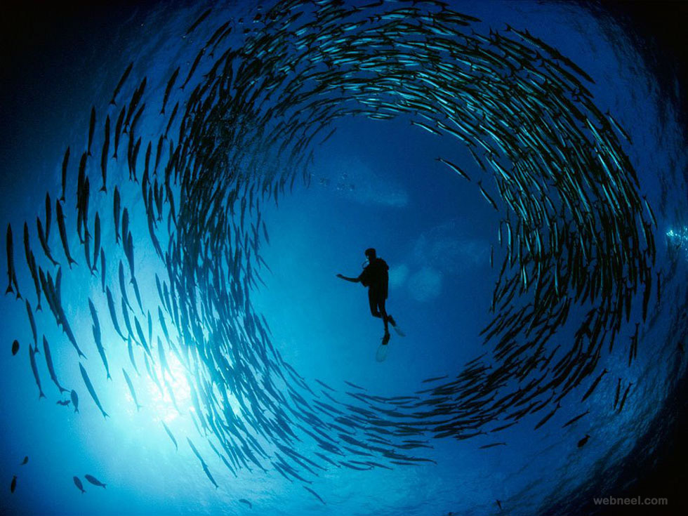 barracuda bismarck sea underwater photography