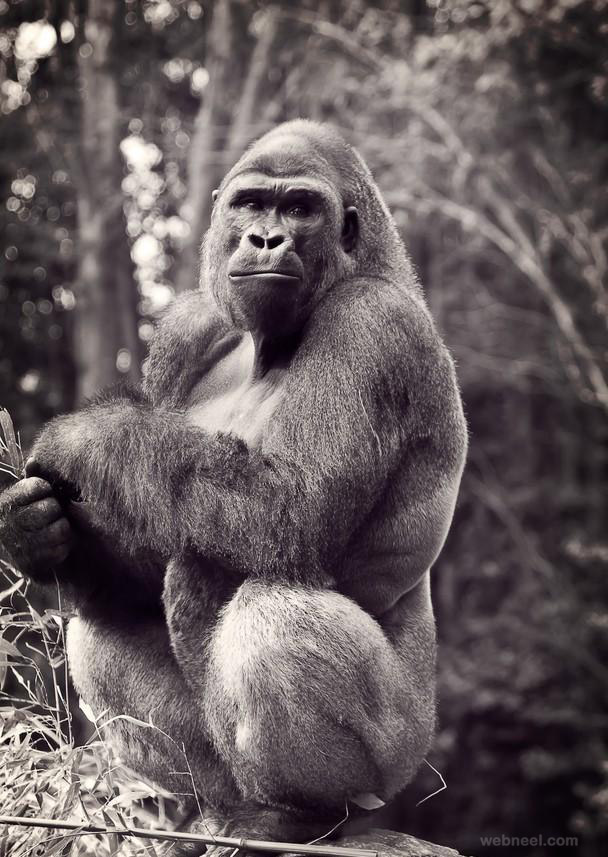 gorilla photography