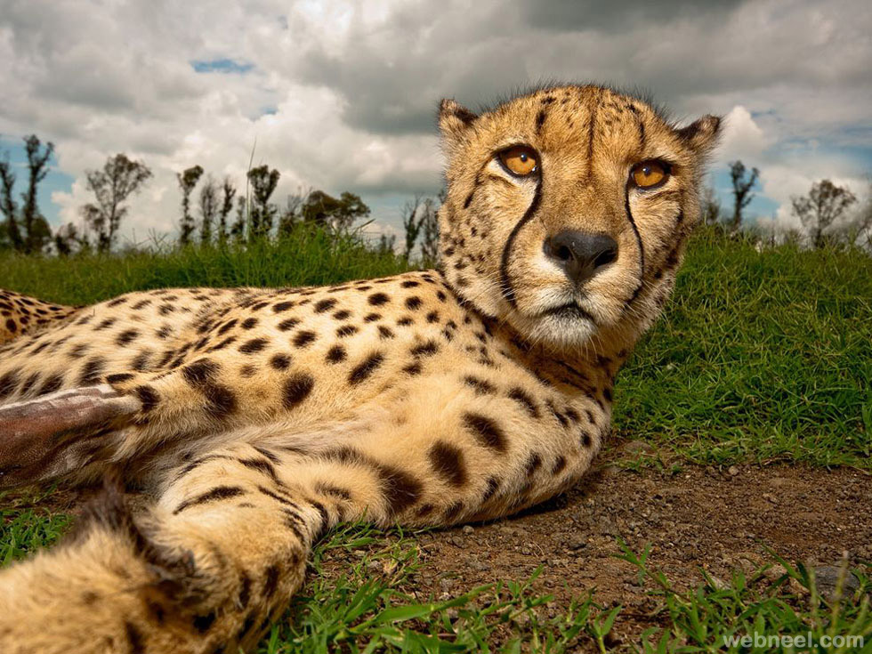 cheetah photography