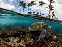 22-green-sea-turtle-hawaii-underwater-photography