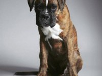 4-animal-rights-sweden-boxer-animal-ad
