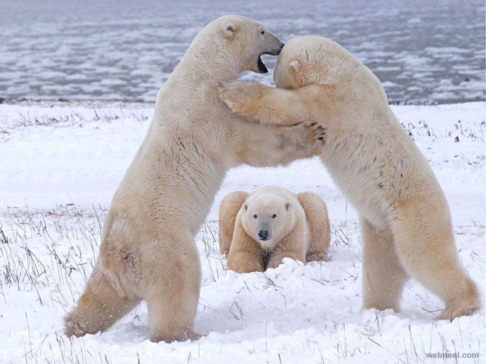 polar bears playing photography