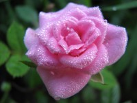 pink Rose raindrops photo