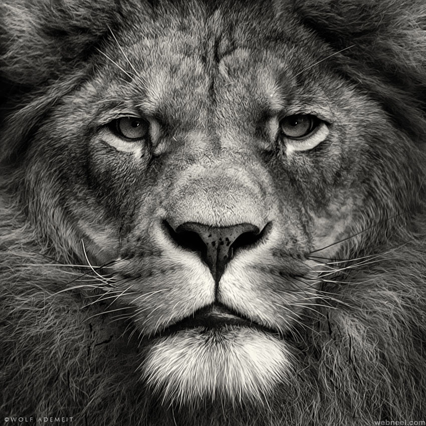 lion black and white photography