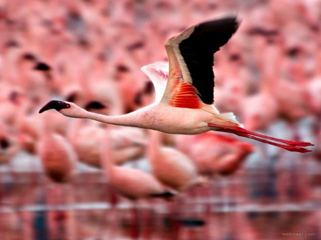 beautiful flamingo bird photography