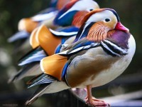 23-mandarin-ducks-birds-award-winning-photography