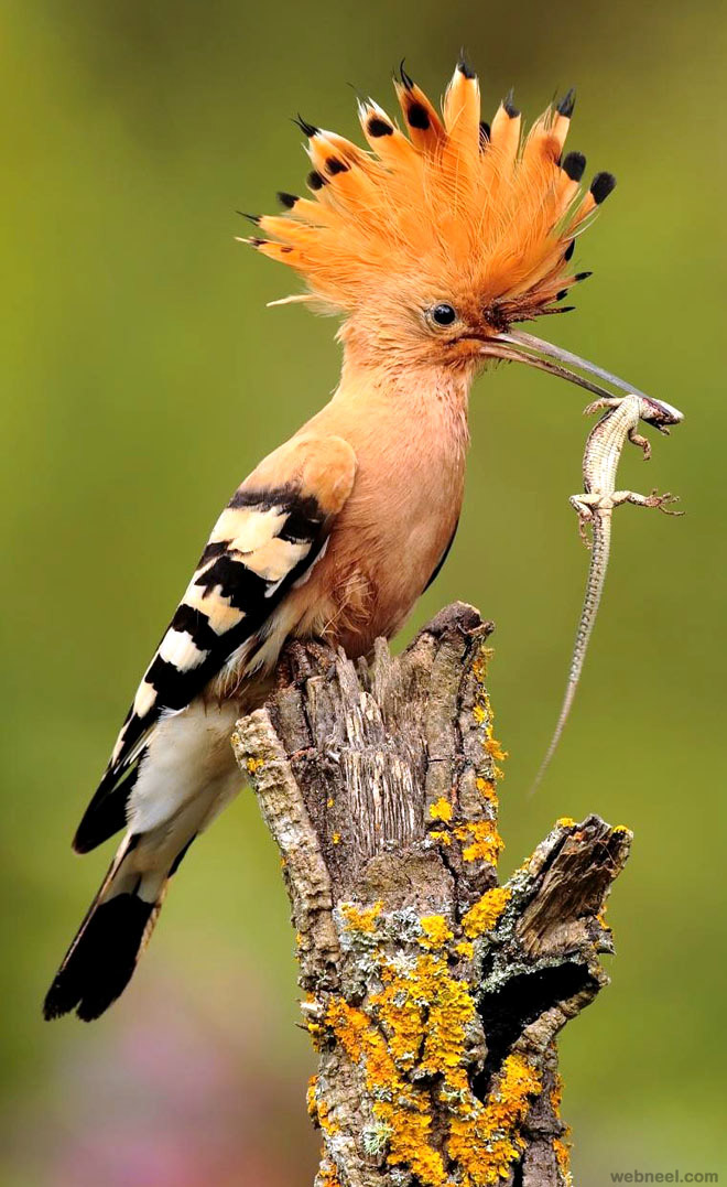 hoopoe bird photography by andres