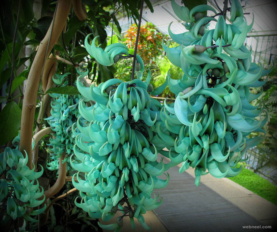 amazing flower jade vine like bananas