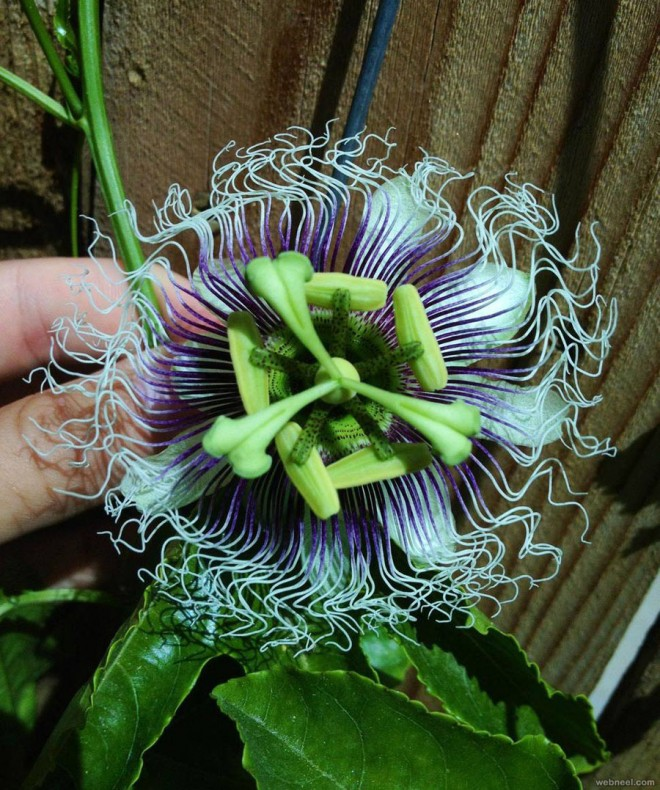 weird flowers passion flower usa