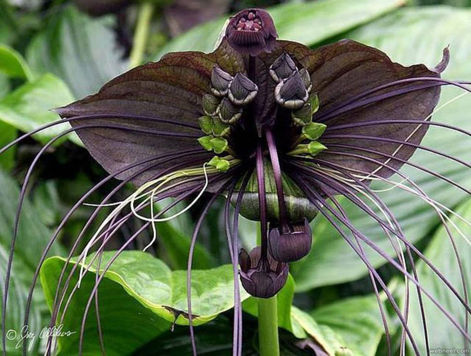weird flower tacca chantrieri like black bat