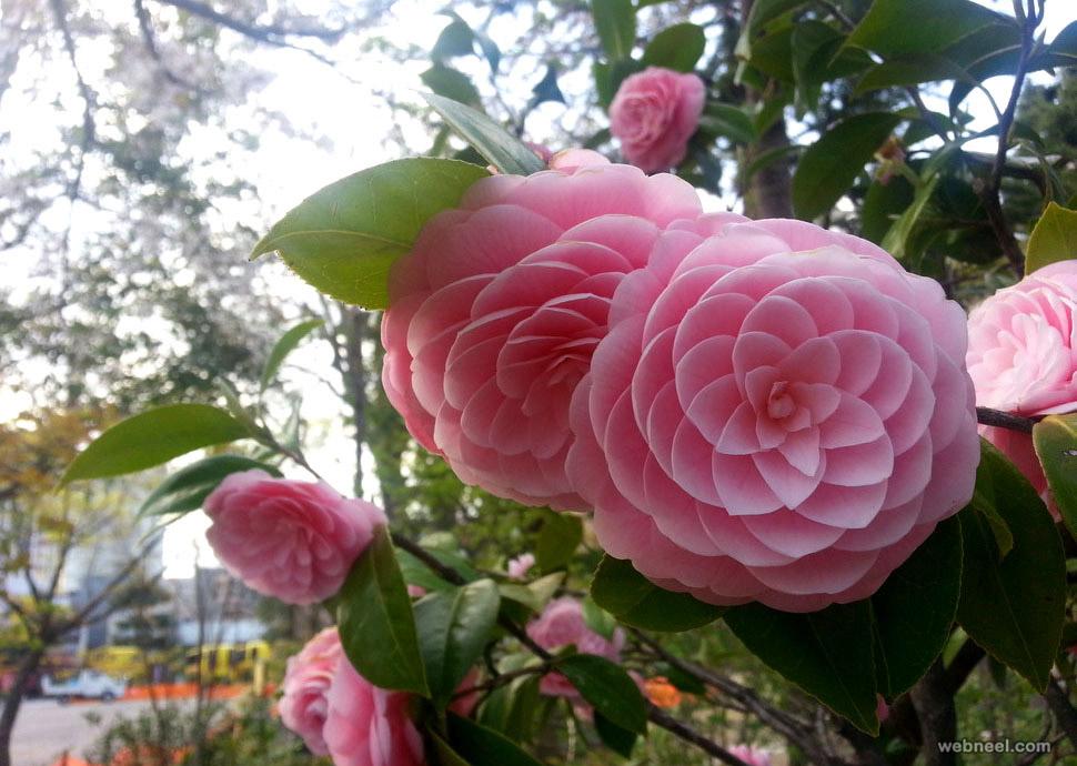 amazing flowers winter rose china