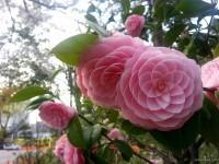 24-amazing-flowers-winter-rose-china