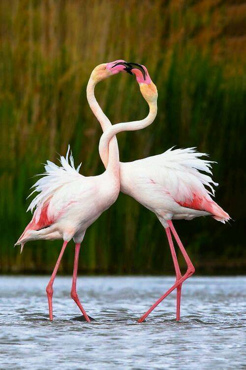 flamingo bird photography
