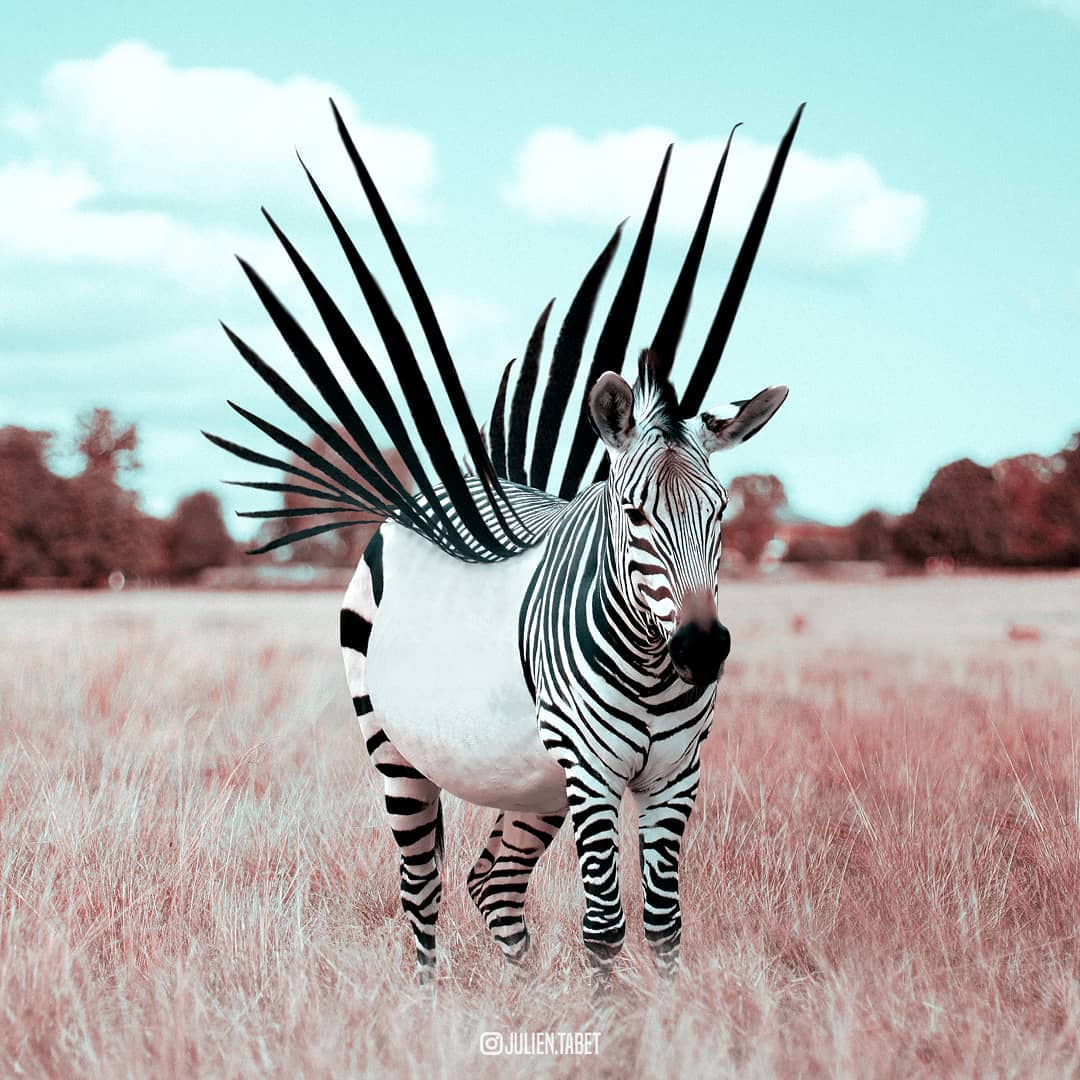 zebra flight photoshop animal photo manipulation by julien tabet