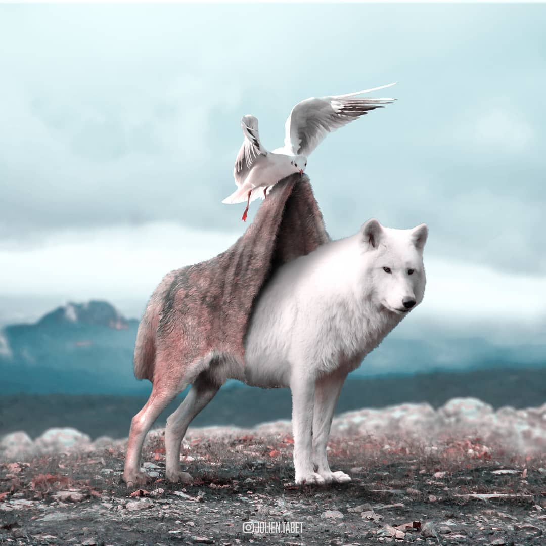 wolf photoshop animal photo manipulation by julien tabet