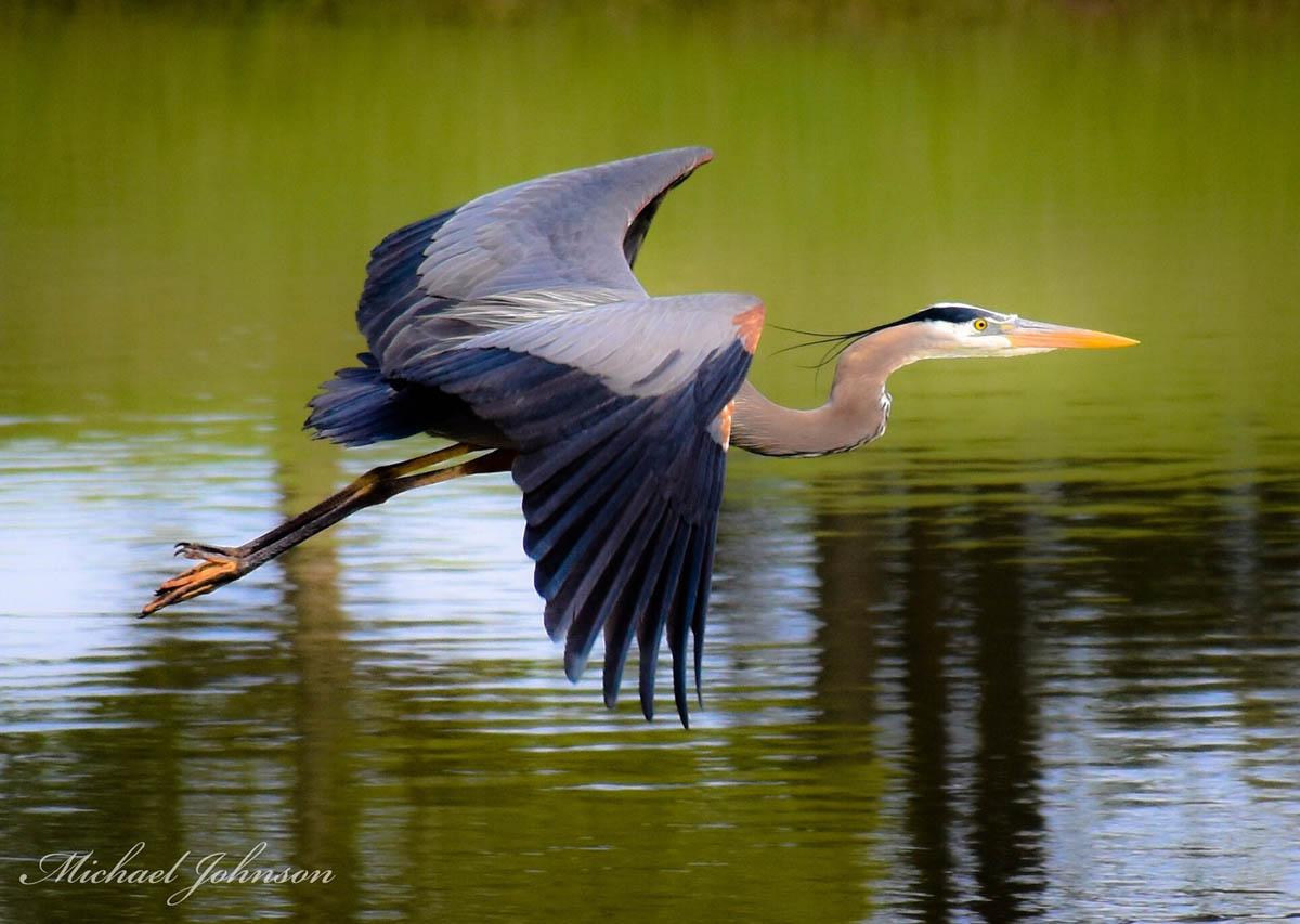 crane flight bird photography by michael johnson