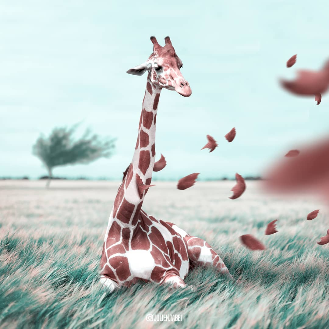 windy giraffe photoshop animal photo manipulation by julien tabet