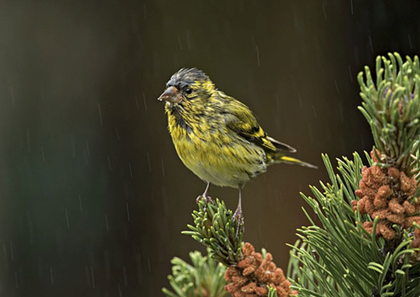 male siskin scottish photographer of the year by mike