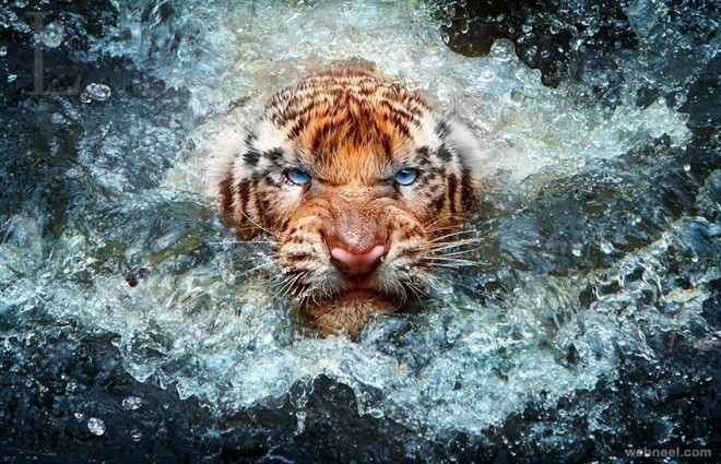 9 best wildlife photography tiger water   animal photography