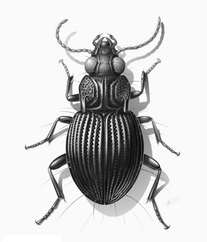 batesiana eugeneae scientific drawing by erwin