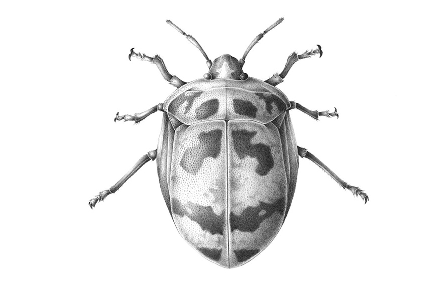 harlequin bug scientific drawing by finn