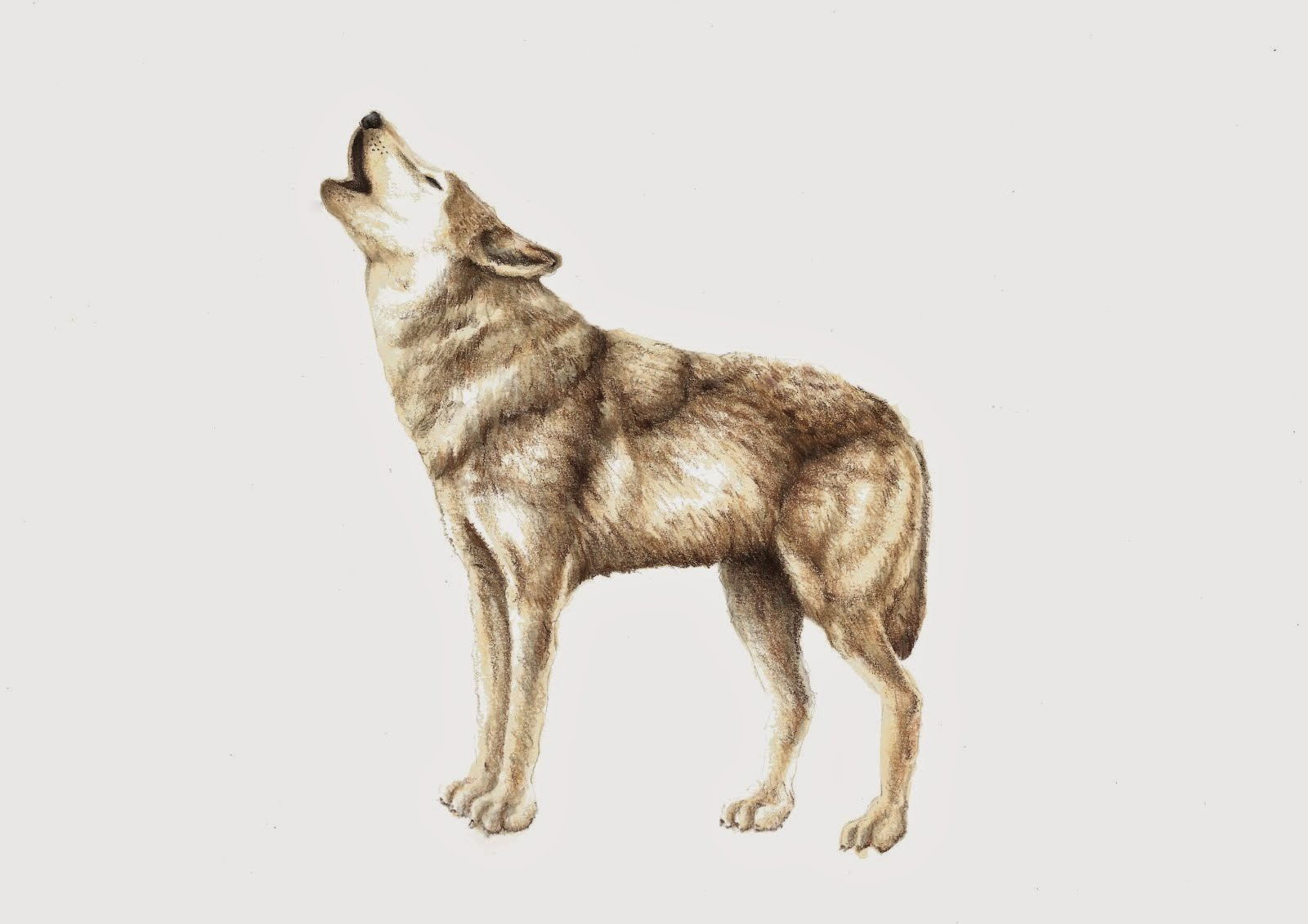 wolf scientific illustration by patricia garcia cruz