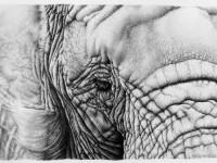 29-elephant-realistic-pencil-drawing-by-ileana-hunter