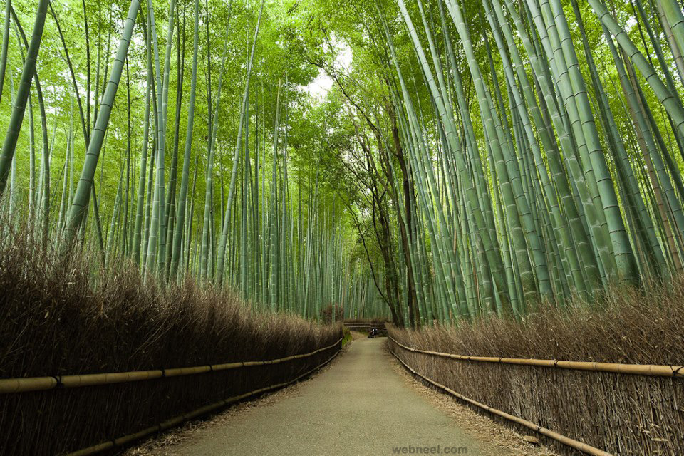 beautiul bamboo forest