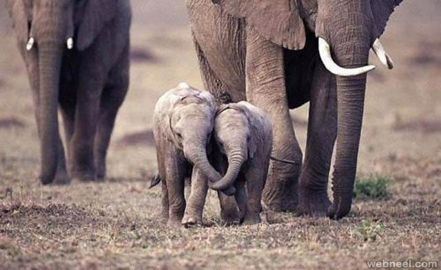 elephant calves playing