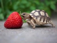 tortoise vs strawberry