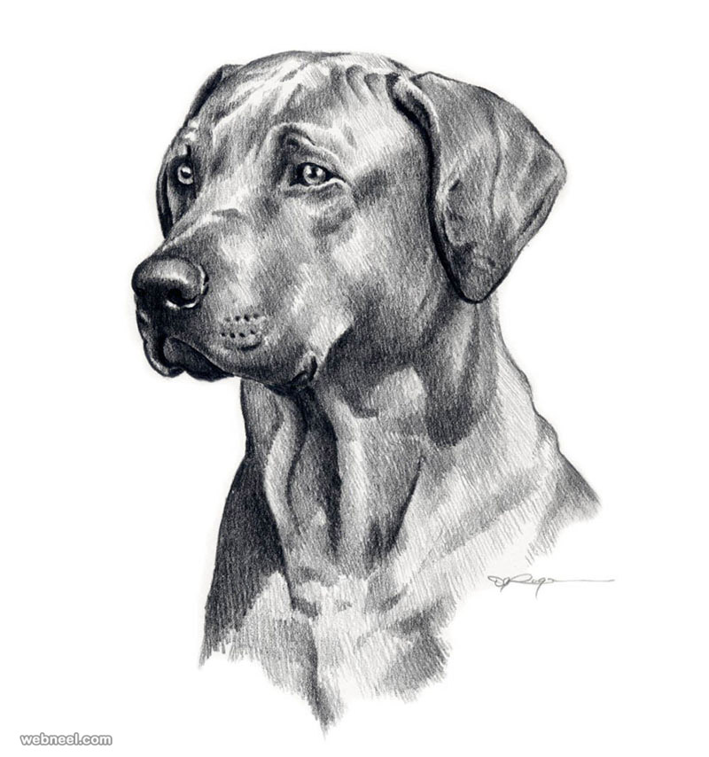Drawing dog pencil drawing