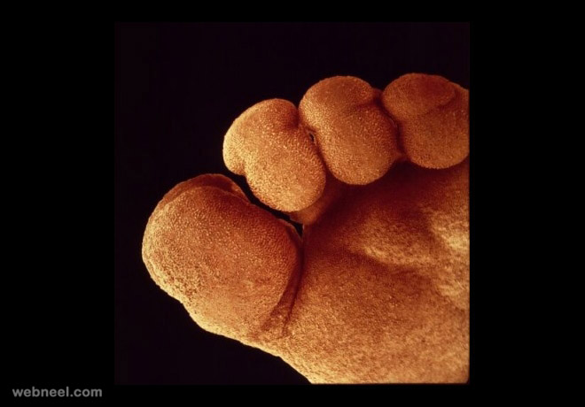 embryo foot photography