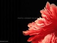 19-fallopian-tube-photo-by-lennart-nilsson