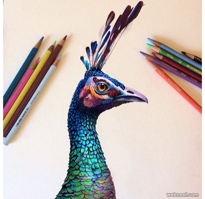 peacock color pencil drawing peacock color pencil drawing - Color Drawings
