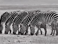 25-zebras-black-and-white-photography-by-tim-allen